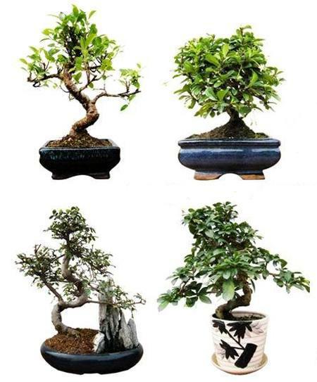 Koki Western Union : Mini bonsai medelis  pristatymas Lietuvoje  210